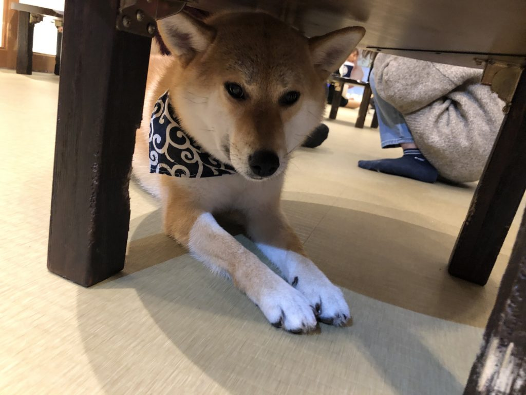 Mame shiba inu under a table